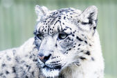 Snow Leopard Head — Stock Photo