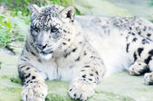 Snow leopard on rock — Stock Photo