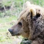 Brown bear closeup — Stock Photo #22405625