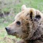 Brown bear profile — Stock Photo #22405627