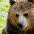 Brown bear face — Stock Photo #22405641