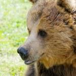 Brown bear profile closeup — Stock Photo #22405677