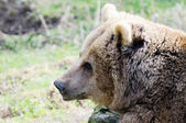 Brown bear closeup — 图库照片