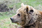 Brown bear profile — 图库照片