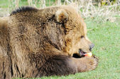 Brown Bear eating apple — Stok fotoğraf