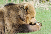 Brown bear eating — Stock fotografie