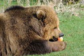 Brown bear feeding on apple — Stok fotoğraf