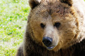 Brown bear face — 图库照片