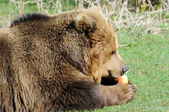 Hungry brown bear — Stockfoto