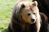 Brown bear — Stockfoto