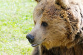 Brown bear profile closeup — 图库照片