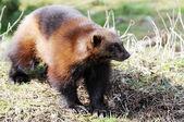 Wolverine in wild — Stock Photo