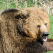 Photo: Brown bear mouth open