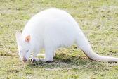 Albino wallaby yeme — Stok fotoğraf