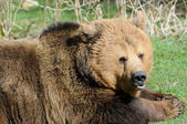 Brown Bear Closeup — Stok fotoğraf