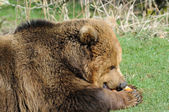 Brown bear eating — Stok fotoğraf