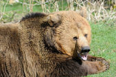 Brown bear mouth open — 图库照片