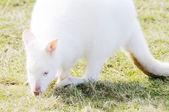 Weiße wallaby — Stockfoto