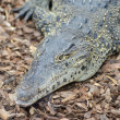 Cuban Crocodile closeup — Stock Photo