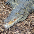 Cuban crocodile — Stockfoto