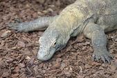 Komodo dragon blisko — Zdjęcie stockowe