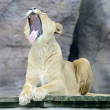 Lioness yawning — Stock Photo