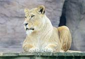 Lioness alert — Stock Photo