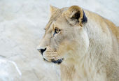 Lioness closeup profile — 图库照片