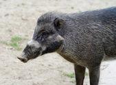 Visayan warty pig — Stock Photo