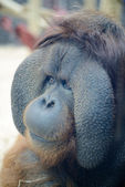 Orangutan head closeup — Stock Photo