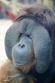 Orangutan face — Stock Photo