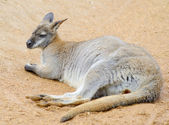 Wallaby relaxing — Stock Photo