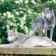 Stock Photo: Two wolves