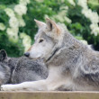 Stock Photo: Wolves