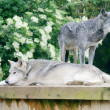Stock Photo: Wolves resting