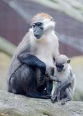 Aap moeder en baby — Stockfoto
