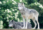 Pair of wolves — Stock Photo