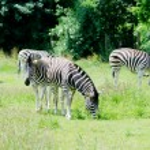 Постер, плакат: Zebra feeding