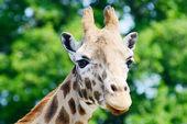 Giraffe closeup — Stock Photo