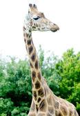 Jirafa alto — Foto de Stock