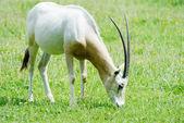 Scimitar horned oryx eating — Stock Photo