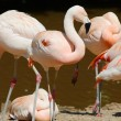 Stock Photo: Flamingo Standing