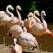Stock Photo: Pink flamingos in group