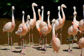 Flamingos On Land — Stock Photo