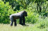 Gorilla allein — Stockfoto