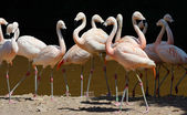 розовый фламинго — Стоковое фото