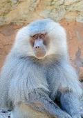 Baboon Closeup — Stock Photo