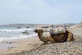 Morocco camel — Stock Photo