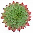 Stock Photo: Succulent Pattern