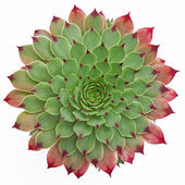 Succulent Pattern — Stock Photo